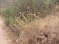 Senecio hakeifolius DSCN9172.jpg