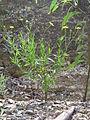 Senecio madagascariensis plant2 (15957248719).jpg
