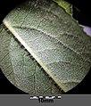 Senecio nemorensis subsp. jacquinianus sl13.jpg