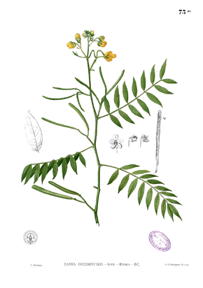 Description de l'image Senna occidentalis Blanco1.73b.png.
