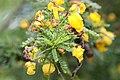 Senna polyphylla 19zz.jpg