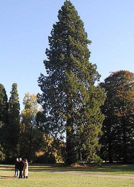 File:Sequoi.westonbirt.600pix.jpg
