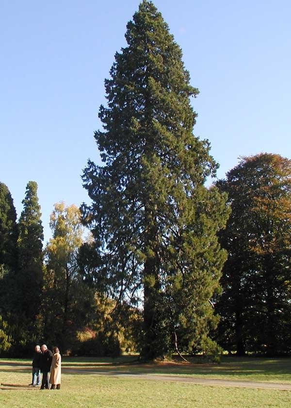 Sequoi.westonbirt.600pix