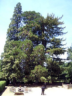 Sequoia tree at El Noguer, Viladrau