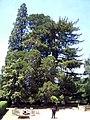 Sequoia del Noguer, Viladrau (Sequoiadendron giganteum).jpg