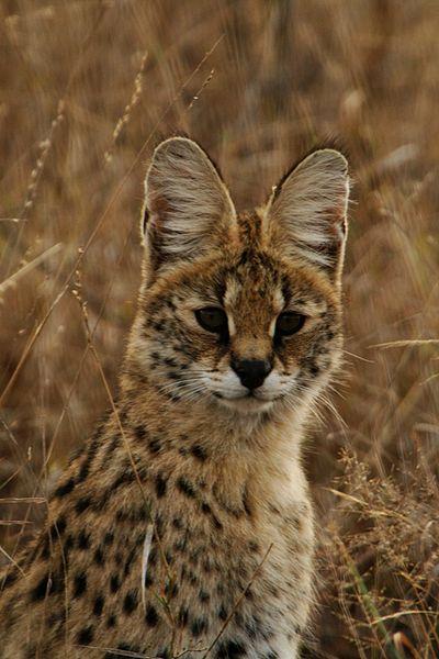 File:Serval portrait.jpg