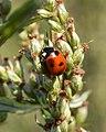 Seven-spotted Lady Beetle (Coccinella septempunctata) - Oslo, Norway 2020-08-15 (02).jpg