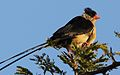 Shaft-tailed whydah, Vidua regia, at Pilanesberg National Park, Northwest Province, South Africa (28039405033).jpg
