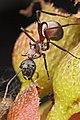 Shattuck 52661, Polyrhachis, Danum Valley, Sabah-web (5042340403) (2).jpg