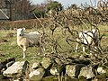 Sheep - geograph.org.uk - 693864.jpg