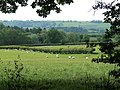 Sheep Grazing near Morville, Shropshire - geograph.org.uk - 456605.jpg