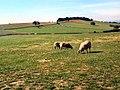 Sheep pastures behind The Billing - geograph.org.uk - 41182.jpg