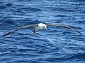 Shy Albatross CW3.jpg