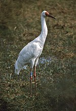 Siberian Crane (Grus leucogeranus) (20595154208).jpg