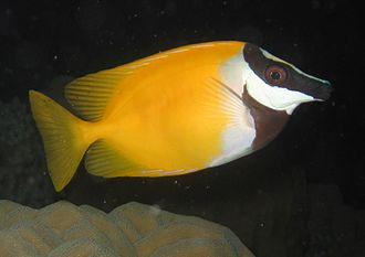 Foxface rabbitfish - Adult, day color
