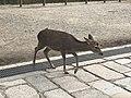 Sika Deer closeup.jpg
