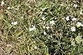 Silene latifolia subsp. alba-4372.jpg