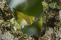 Silvereye - Lake Eacham - Queensland S4E8338 (21781030284).jpg