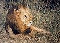 Simba, Nairobi National Park, Kenya (20138043046).jpg