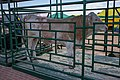 Simmental cattle (Belagro-2021).jpg