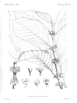 Siparuna cauliflora, Illustration.