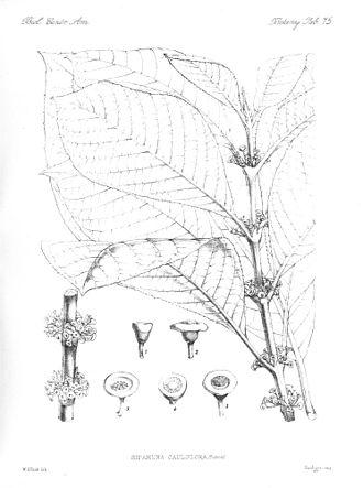 Siparunaceae - Siparuna cauliflora