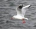 Skrattmås Black-headed Gull (31145615181).jpg