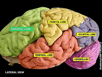 Frontal lobe - Image: Slide 1aa