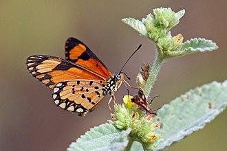 Acraea serena - Image: Small orange acraea (Acraea serena serena) male underside