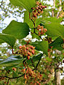 Smilax rotundifolia - Roundleaf Greenbrier.jpg