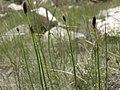 Smooth scouring rush, Equisetum laevigatum (28085432239).jpg