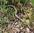 Snake on Mount Ara.jpg