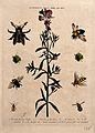 Snapdragon flower (Antirrhinum majus) with five species of b Wellcome V0044290.jpg