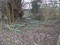 Snowdrop Corner. - geograph.org.uk - 351895.jpg