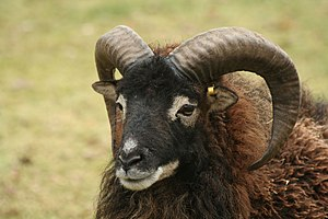 Feral animal - Soay sheep in St Kilda, Scotland