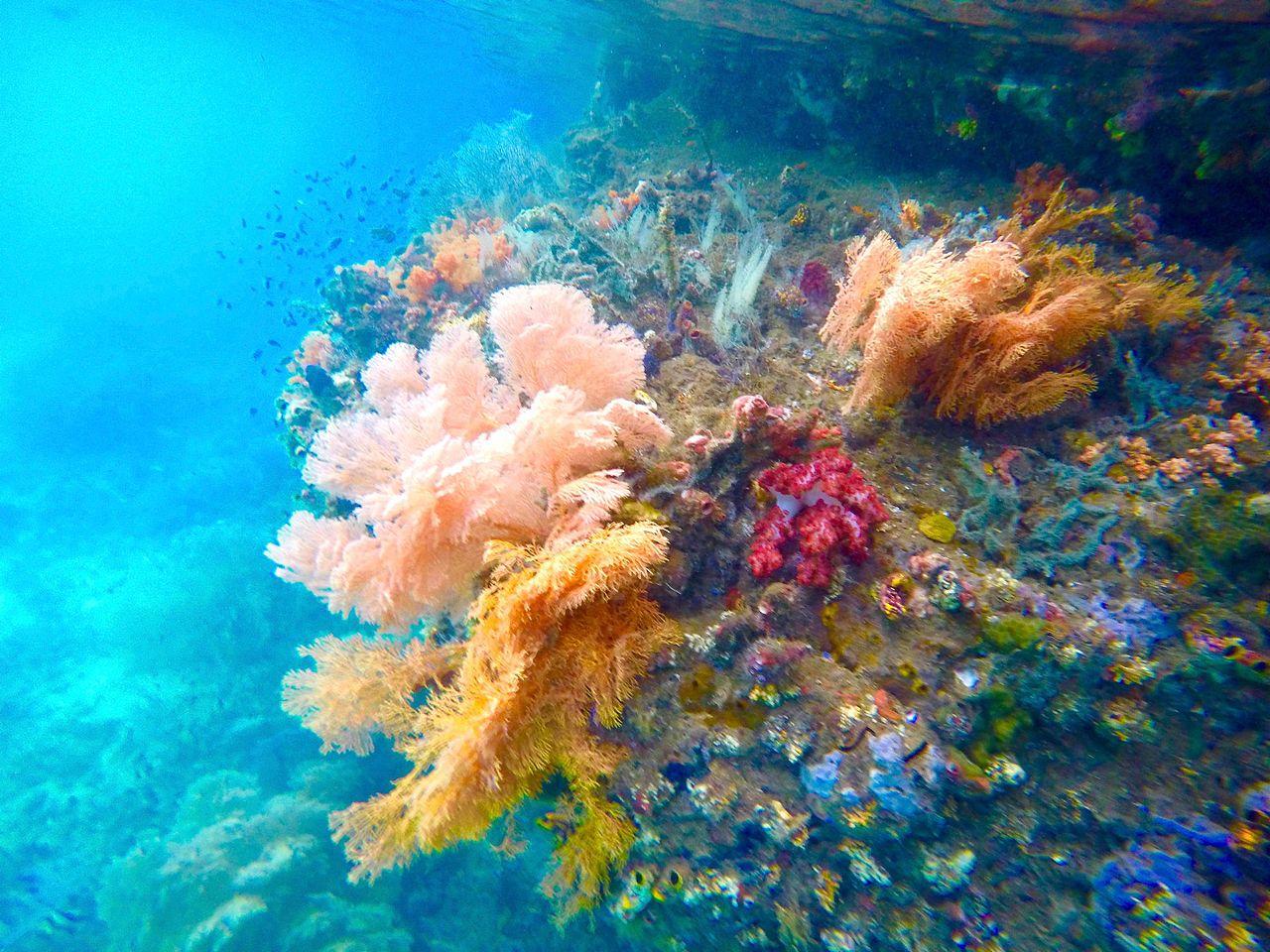 File:Soft corals between Gam and Waigeo, Raja Ampat.jpg