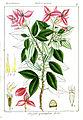 Sonerila grandiflora Rungiah.jpg