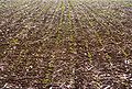 Sonnenblumen Mulchsaat in Körnermais 1.jpg