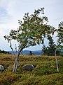 Sorbus aucuparia (massif des Vosges).jpg