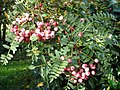 Sorbus berries in the autumn - geograph.org.uk - 600908.jpg