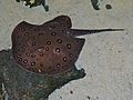 South American Freshwater Stingray (Potamotrygon motoro) (6978486064).jpg