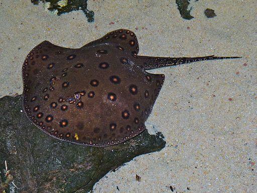 South American Freshwater Stingray (Potamotrygon motoro) (6978486064)