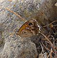 Southern Gatekeeper. Pyronia cecilia. u-s - Flickr - gailhampshire.jpg