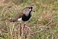 Southern lapwing (Vanellus chilenis lampronotus).JPG