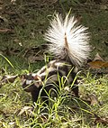 Southern spotted skunk.jpg