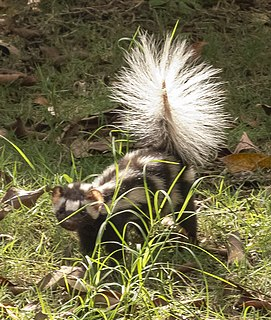 Southern spotted skunk species of mammal in the skunk family
