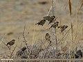 Spanish Sparrow (Passer hispaniolensis) (35644141962).jpg