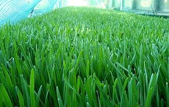 Wheatgrass - Spelt grass grown outdoors. With a deeper green color than wheat.