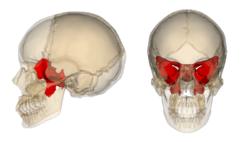 Sphenoid bone.png