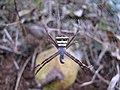 Spider 1593.JPG